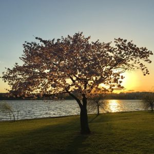 Cherry Blossom tree at sunset