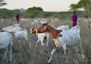 Goats and Maasai herders in Chyulus